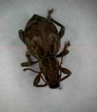 arboles_de_navidad_infectados 2