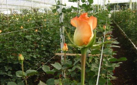 rosas-invernadero